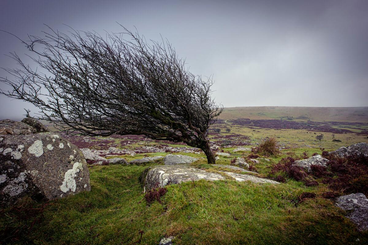 Windswept tree on Bodmin Moor